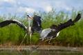 Picture herons, birds, dancing