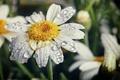 Picture flower, drops, macro, nature, petals, Daisy