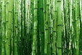 Picture bamboo, greens, nature