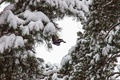 Picture tree, woodpecker, forest, winter
