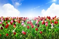 Picture summer, the sky, the sun, clouds, rays, flowers, nature, blue, tulips