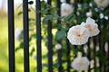 Picture flowers, the fence, roses, light, grille, flowers