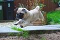 Picture cute, pug, puppy
