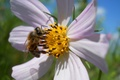 Picture kosmeya, petals, insect, bee, flower