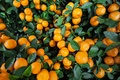 Picture fruits, leaves, fruit, oranges, oranges
