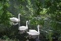 Picture swans, wallpapers, lake, greens, Wallpaper