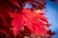 Picture autumn, the sky, nature, sheet, paint, the crimson