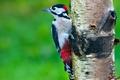 Picture tree, birch, medic, woodpecker, bird