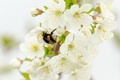 Picture branch, bumblebee, insect, flowering, cherry, spring