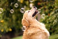Picture dog, bokeh, By Champ&Candice, Retriever, Mr.Champ, bubbles