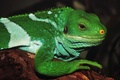 Picture eyes, legs, green, iguana, reptile