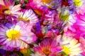 Picture line, flowers, petals, garden, flowerbed