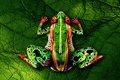 Picture bodypainting, Frog, naked women, green leaf