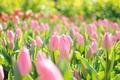 Picture light, flowers, glare, spring, tulips, pink field