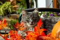 Picture autumn, cat, eyes, mustache, leaves, green, red, grey, orange
