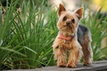 Picture nature, dog, Yorkshire Terrier