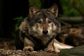 Picture look, wolf, predator, face