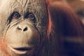 Picture look, monkey, Orangutan