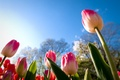 Picture urovnem plan, view, the sun, the sky, buds, tulips, leaves