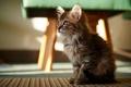 Picture look, carpet, floor, kitty, sitting, looks, taburetka