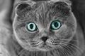Picture eyes, cat, pulls, Scottish fold