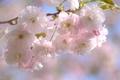 Picture cherry, branch, spring, Sakura