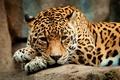 Picture look, face, predator, paws, Jaguar