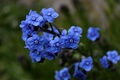 Picture Flowers, blue, blue, flowers