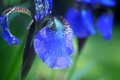 Picture petals, water, iris, Rosa, flower, drops