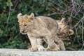 Picture cats, branches, the game, pair, cub, kitty, the cubs, lion, ©Tambako The Jaguar
