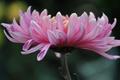 Picture summer, flower, chrysanthemum