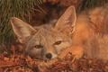 Picture look, ears, muzzle, American Fox, Fox
