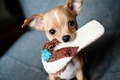 Picture look, dog, Chihuahua, Slippers