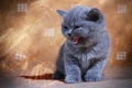 Picture kitty, meow, British Shorthair