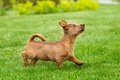 Picture Terrier, lawn, puppy, lawn, funny