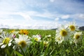 Picture flowers, rays, light, plants, nature, weed, chamomile, field, the sun, the sky