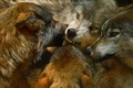 Picture animals, realism, predators, pack, wolves, painting, animals, art, order, wolves, realistic, paintings, The Order of ...