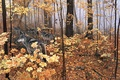Picture autumn, forest, animals, nature, yellow leaves, wolves, maple, painting, Autumn Maples, Ron S.Parker