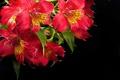 Picture Alstroemeria, Alstremeria, red, flowers