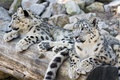 Picture stay, predator, family, pair, IRBIS, snow leopard