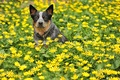 Picture dog, look, summer, flowers, each