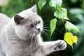 Picture greens, cat, cat, leaves, grey, paw, branch, British, British