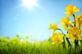Picture Yellow, The sky, Rays, Flowers, Daffodils, Grass
