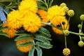 Picture tree, Mimosa, buds, spring, yellow