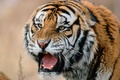 Picture face, tiger, predator, Siberian