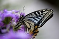 Picture flower, lilac, butterfly, wings, insect