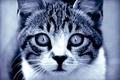 Picture look, Cat, predator, eyes