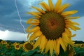 Picture storm, lightning, sunflower
