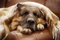 Picture each, dog, German shepherd