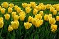 Picture grass, petals, tulips, meadow, garden